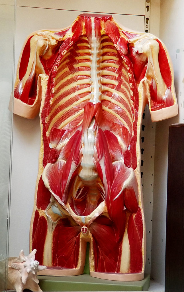 Anatomical Half Torso cast from life - one hour post death, so the alignments and position of anatomical bone, cartilage, and muscle are proper to to actual relationships in a living subject.