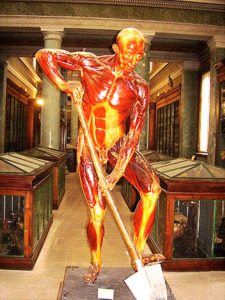 Ecorche La Specola, Florence - source of Anatomical Drawings by Alphonse Lami